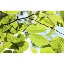 Fototapeta liście