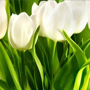 Fototapeta zielony tulipan