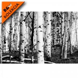 Fototapeta Brzozy - czarno białe