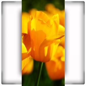 Fototapeta wysoki tulipanowiec