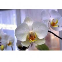 Orchidea VII