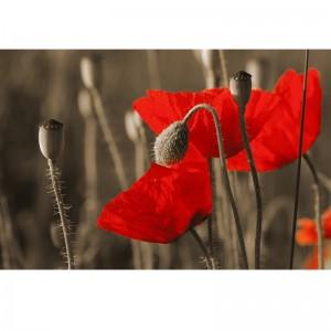 Fototapeta czerwone maki na łące w sepii