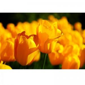 Fototapeta słoneczne kolory tulipanów