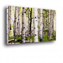 Obraz na ścianę Brzozowy las nr 2019