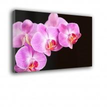Orchidea IV nr 2066
