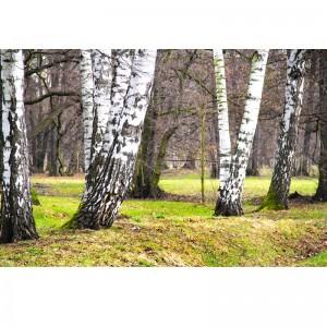 Fototapeta brzozowa zima