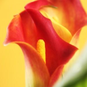 Kwiatostan III
