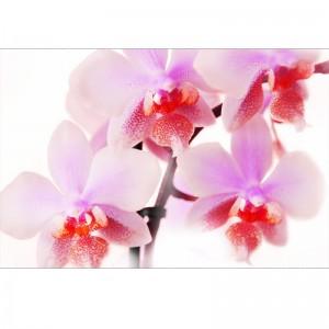 Orchidea V