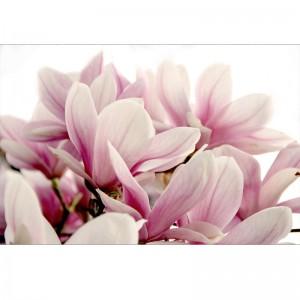 Fototapeta z różowymi Magnoliami