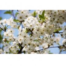 Fototapeta kwiaty jabłoni do salonu