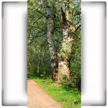 Fototapeta brzozowy pień drzewa