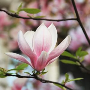 Fototapeta gałązka z magnolią