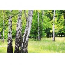 Fototapeta brzozy na polanie
