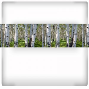 Fototapeta panoramiczna z brzozowym lasem