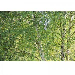 Fototapeta Brzozowe liście na ścianę