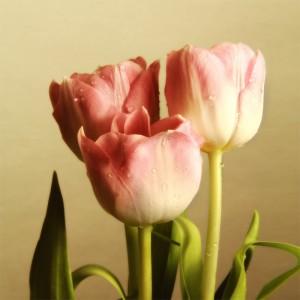 Fototapeta różowe kwiaty tulipana