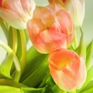 Fototapeta pomarańczowe kwiaty tulipanów
