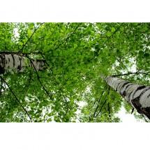 Fototapeta korona brzozy - widok od dołu