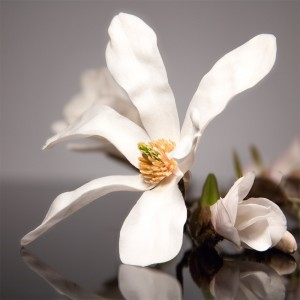 Fototapeta biały kwiat magnolii