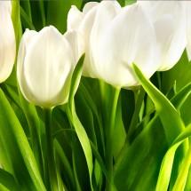 Fototapeta zielone tulipany