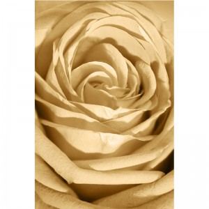 Fototapeta beżowa róża do salonu