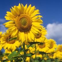 Słoneczniki na polu