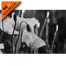 Fototapeta biały kwiat maków