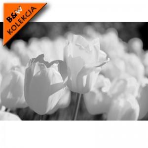 Fototapeta pole tulipanów