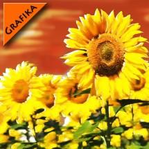 Słoneczniki graficzne