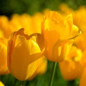Fototapeta łąka żółtych tulipanów