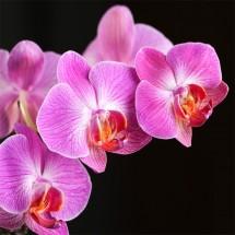 Orchidea III