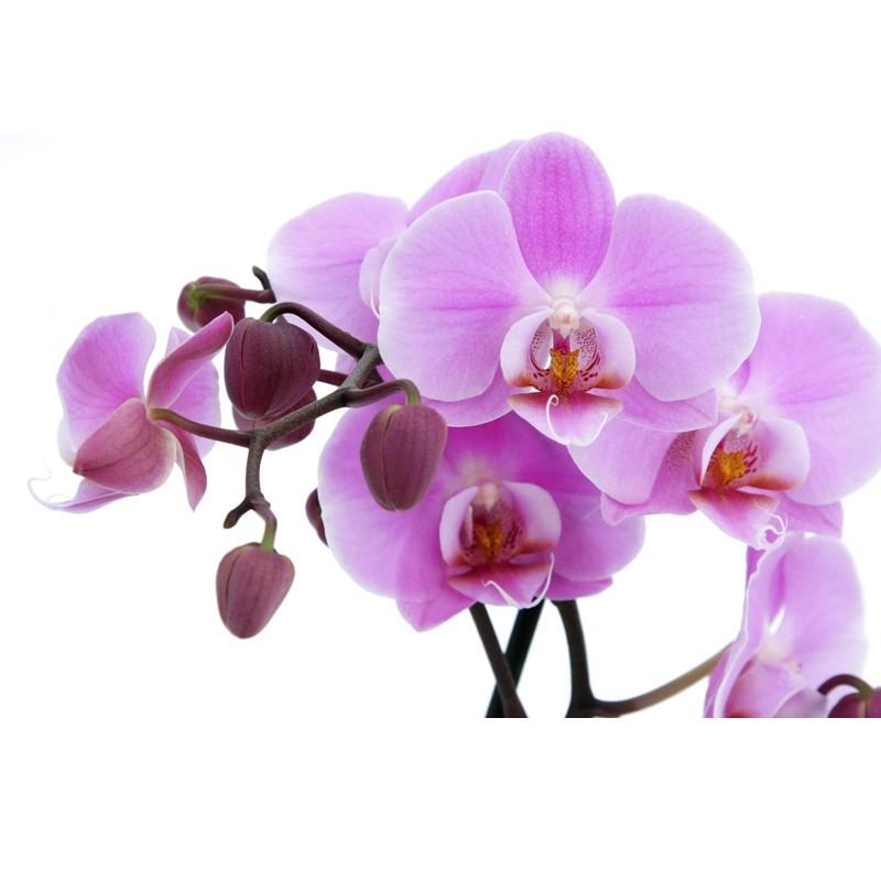 Fototapeta na ścianę fioletowa orchidea