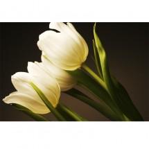 Fototapeta niewinność tulipanów