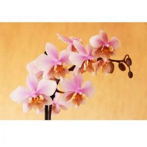 Fototapeta orchidea na łososiowym tle