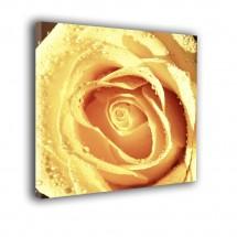 Róża nr 2297