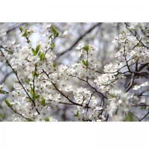 Fototapeta białe kwiaty