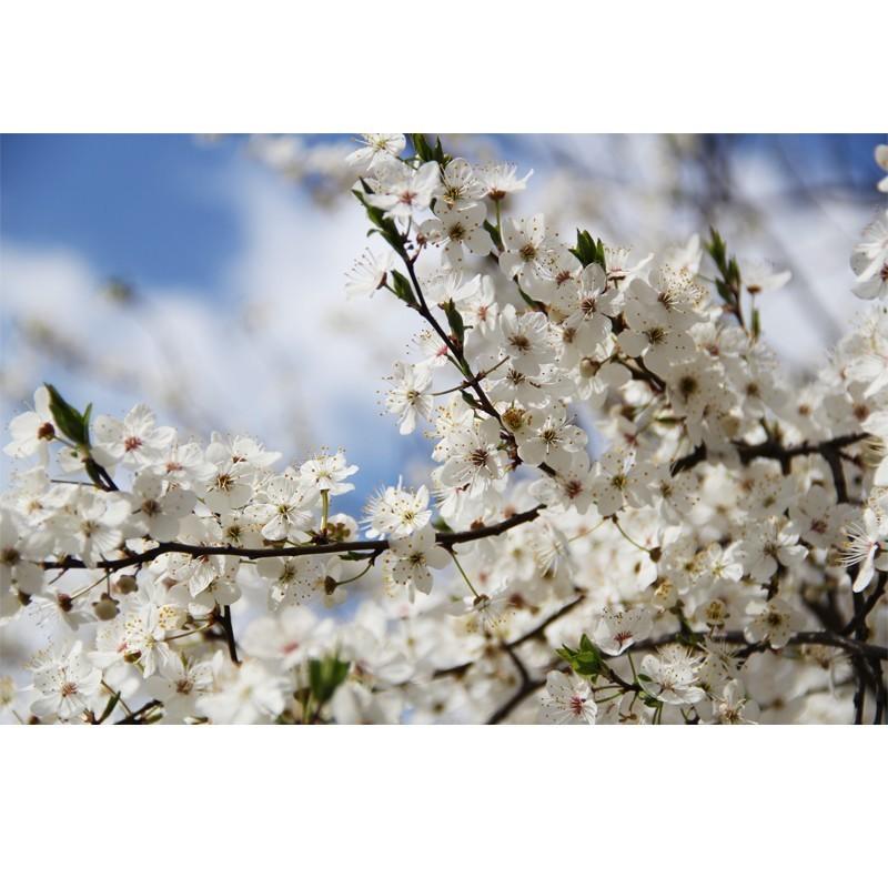 Fototapeta białe kwiatuszki