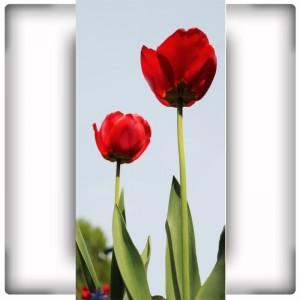 Fototapeta dwa kwiaty tulipana