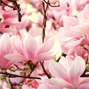 Fototapeta magnoliowy róż