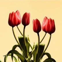 Fototapeta sześć tulipanów