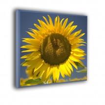 Słonecznik nr 2145