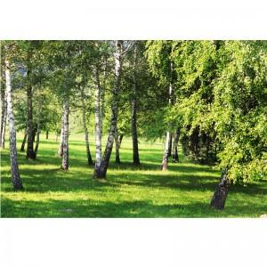 Fototapeta Brzozowa kraina