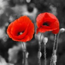 Fototapeta dwa kwiatuszki maku
