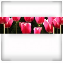 Fototapeta panorama tulipanów