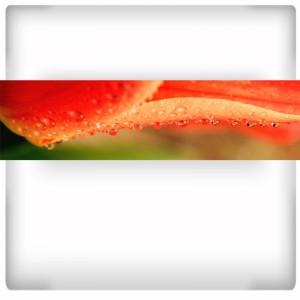 Fototapeta zroszony tulipan