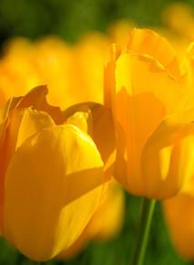 Żółty motyw Tulipanów