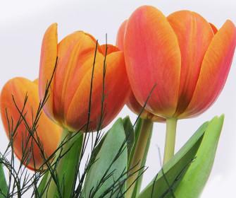 Tulipany na ścianę