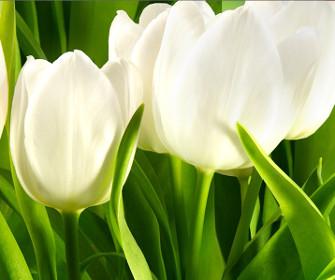 Białe Tulipany na zielonym tle