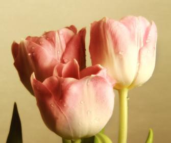 Różowe Tylipany